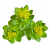 Life Impulse® ECO Rhodiola Rosea