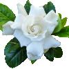 Ulei esential de Gardenie 100% natural  Kräuter®